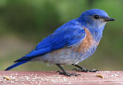 Bluebird A Sacred Life